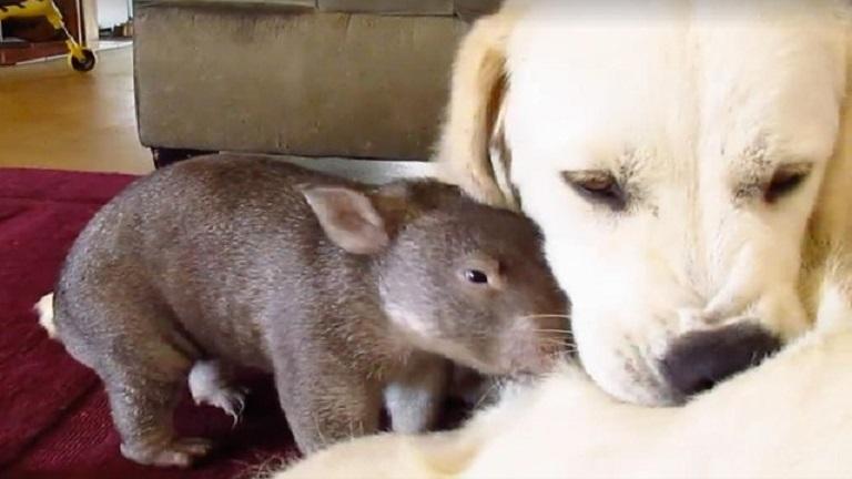 Együtt cukiskodik a vombat és a kutya - videó