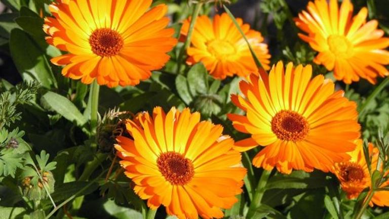 Körömvirág, ami nem hiányozhat a kiskertedből