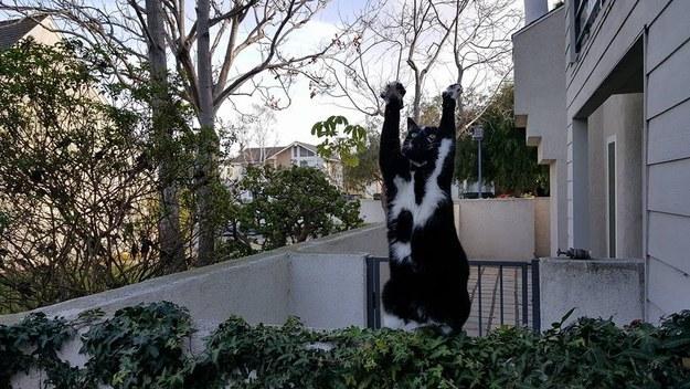 Megőrül az internet a feltartott kézzel pózoló macskáért - vicces képek