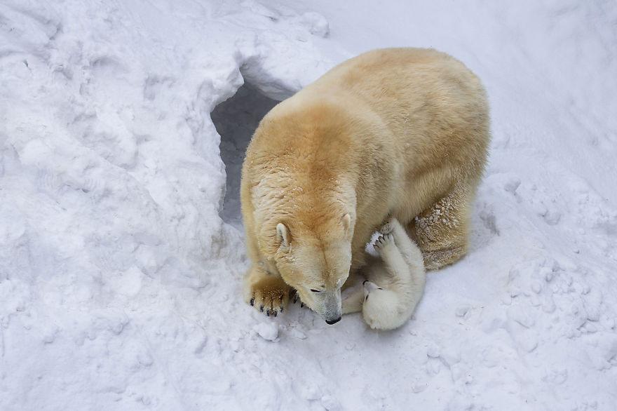 Így mókázik bocsával a jegesmedve-mama - cuki fotók