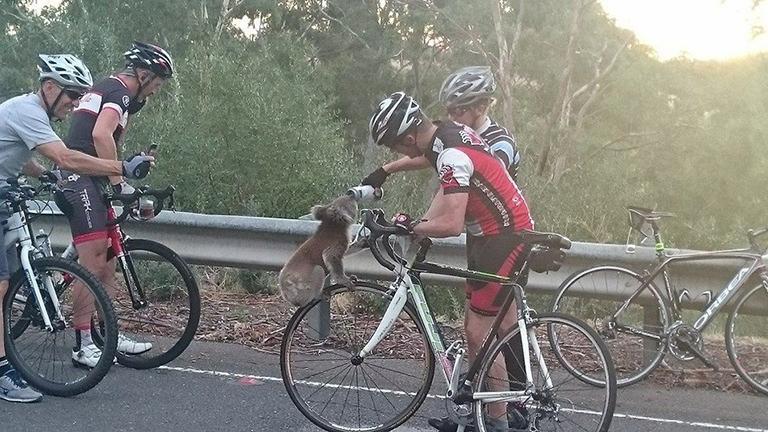Cuki fotó: biciklisek hűtötték le a koalát