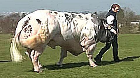 Ilyen brutál bikára vágyik minden tehén – videó