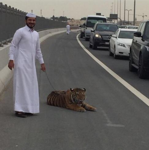Közlekedési káoszt okozott az autópályára tévedt tigris