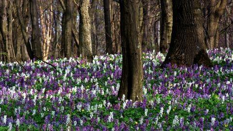 A húsvét színpompás kincsei – a tavaszi erdő legszebb védett vadvirágai