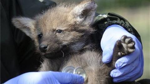 Tündéri sörényes farkasok születtek a Szegedi Vadasparkban