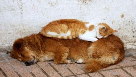Macskák, akik párnának használják a kutyákat – vicces fotók