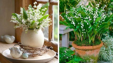 Így ültesd el és, gondozd a gyöngyvirágot