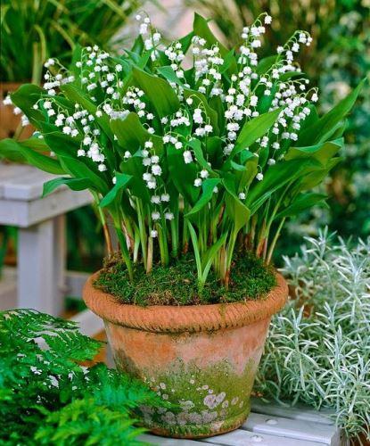 Így ültesd el és gondozd a gyöngyvirágot
