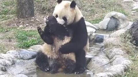 Ez a pandamaci mindent megtesz, hogy kibújjon a fürdetés alól – videó