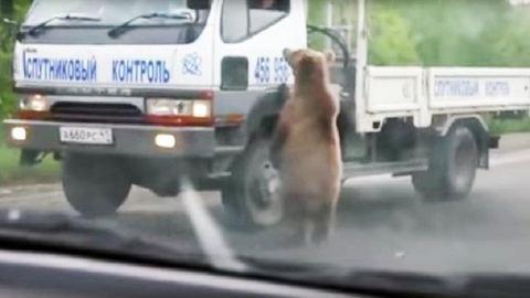 Ételt koldul a medve az autópályán – videó
