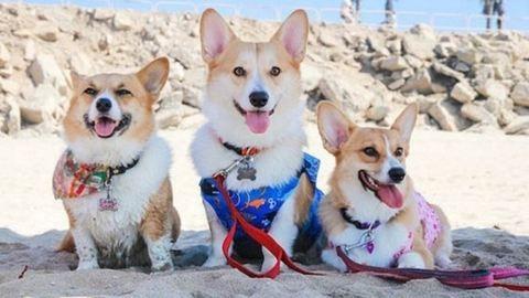 600 corgi kutya lazult egyszerre a kaliforniai beach partin – cuki képek