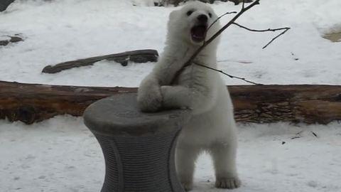 Erre az önfeledten játszó kis jegesmedvére kíváncsi most a világ