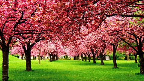 Ne hagyd ki a cseresznyevirágzást a hétvégi programok közül!