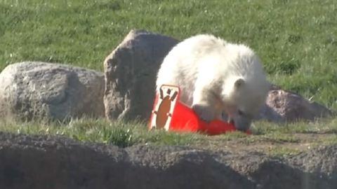 Nézd meg a cuki jegesmedvebocs első lépéseit! – videó
