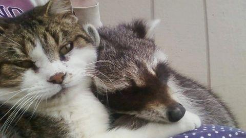 Macskája segítségével mentette meg az árva mosómedvét – cuki képek