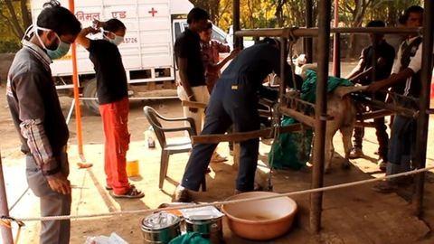 18+: 20 kiló szemetet találtak a beteg bika gyomrában – videó