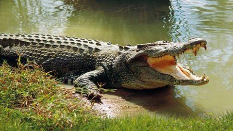 60 évig tartott krokodilt a hátsó kertben az asszony