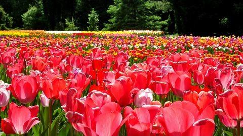 Mesébe illő képek – ötvenezer tulipán virágzik a Vácrátóti Arborétumban