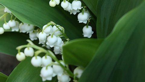 Gyöngyvirágot evett két kisgyerek – az intenzívre kerültek