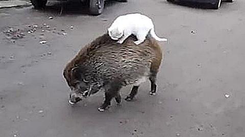 Vaddisznó hátán utazik a cica – ez ám a barátság