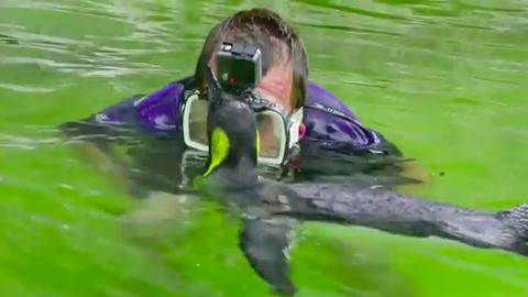 Cukiság: gondozója tanítja úszni a félős pingvint
