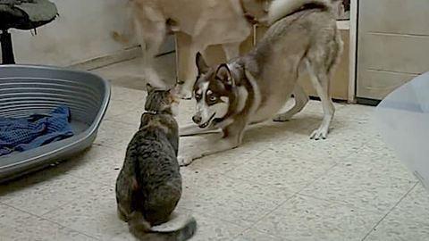 Ez a cicával játszó husky igazán jó fej