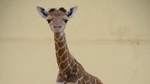 Elpusztult a debreceni állatkert újszülött zsiráfja