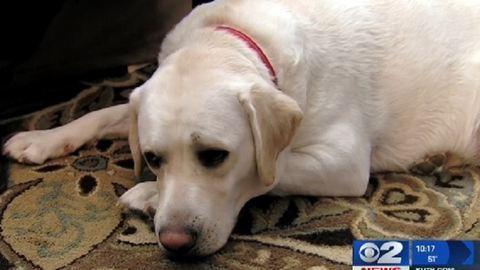 Hihetetlen: mérföldekről megérezte gazdája rosszullétét a segítő kutya