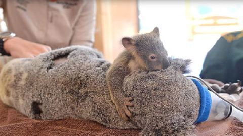 Műtétbe is elkísérte sérült mamáját a koalabébi – videó