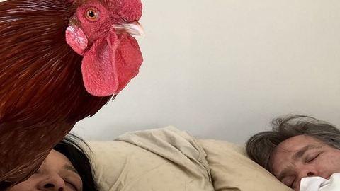 Az ágyukban ébreszti a kakas a házaspárt – fotók