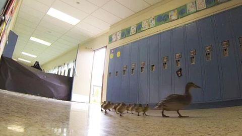 Napi cuki: iskolába jár a kacsacsalád – videó