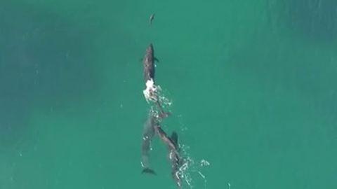 Így kapnak el egy cápát a delfinek – videó