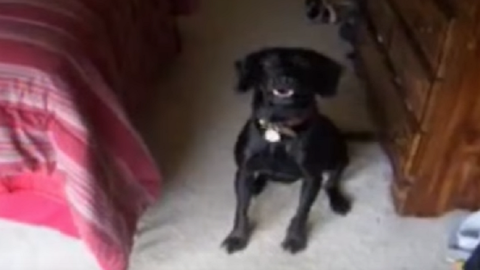 Vicces videó: az ágy alá menekül a kutya a fürdés elől