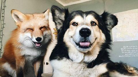 Napi cuki: a róka és a kutya a legjobb barátok lettek – fotók