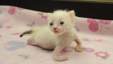 Gyönyörű macska lett a rendellenességekkel született cicából