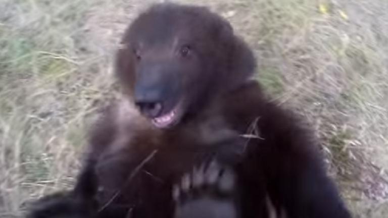 Nézd meg testközelből, hogy reagál a medvebocs, ha megcsikizik!