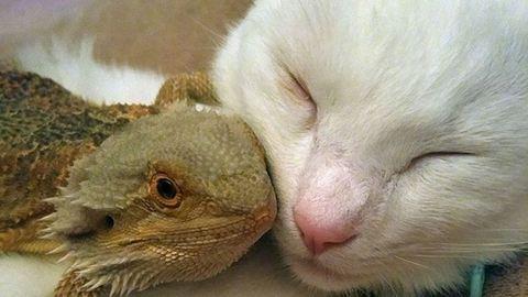 Hüllő kötött barátságot a macskával – cuki fotók