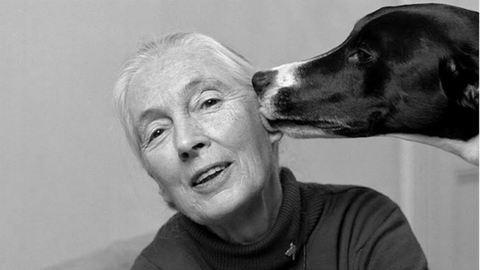 5 fotó, ami bizonyítja, hogy Jane Goodall tud az állatok nyelvén