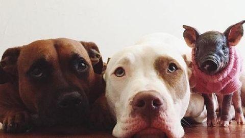 Imádják a pitbullok új tesójukat, a kismalacot – cuki fotók