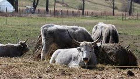 Még a kamerát is feldöntötték a vonuló marhák