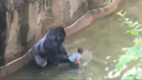 Agyonlőtték a 17 éves gorillát, aki megtámadott egy négyéves gyereket