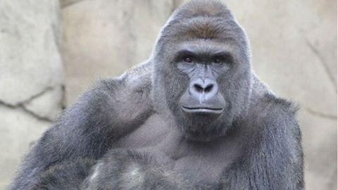 Felháborodtak a netezők az állatkerti gorilla lelövésén