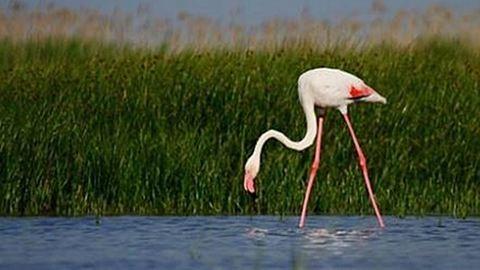 Eltévedt flamingó portyázik a Kiskunságban