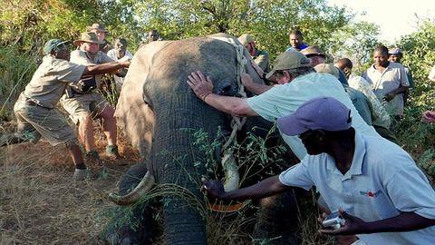 Emberektől kért segítséget a súlyosan megsérült elefánt