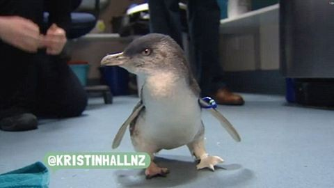 Újra táncolhat az amputált lábú pingvin