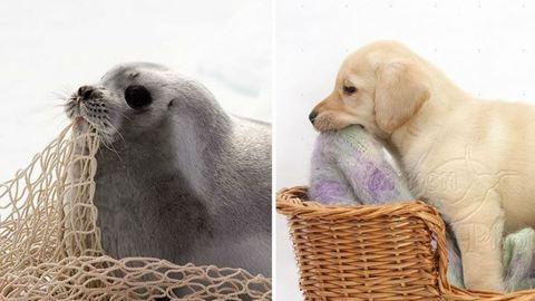 8 fotó, ami bizonyítja, hogy a fókabébik valójában vízben élő kölyökkutyák