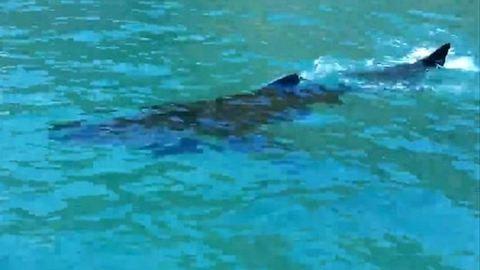 A turisták azt hitték, egy delfint mentenek meg – valójában egy cápa volt