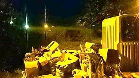 Vége a rettegésnek: kilövik a Szentendrén garázdálkozó vaddisznókkat