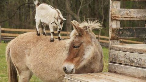 Napi cuki: szamárháton lovagol a kecskegida