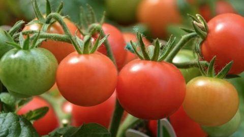Így tudsz egészséges és finom paradicsomot termeszteni – videó